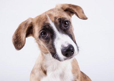 hondenfotograaf, dierenportret, imirafoto, hondenportret
